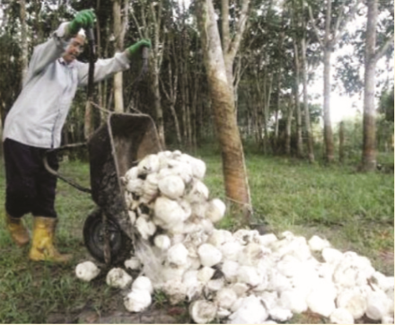 GAPKINDO South Sumatera Asks Factories to Still Receive Rubber from All Areas