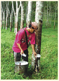 Natural Rubber Commodities in West Sumatra are starting to be replaced by Coconut