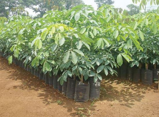 The Ministry of Agriculture Targets 1,100 Ha for Replanting Natural Rubber Plantation in 2021